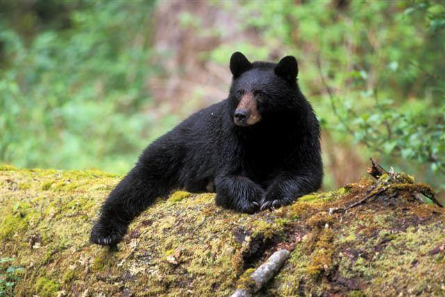 American black bear Black Bear Western Wildlife Outreach