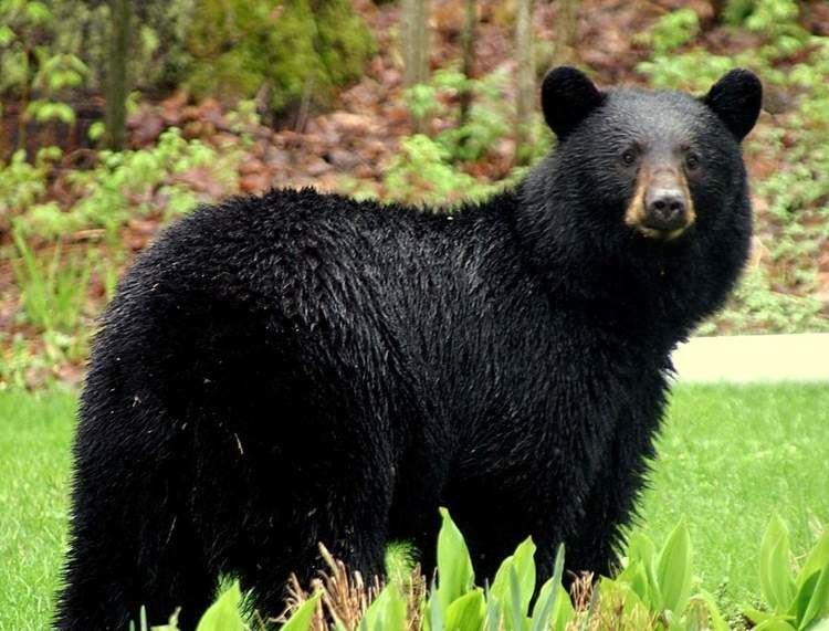 American black bear American Black Bear Our Planet