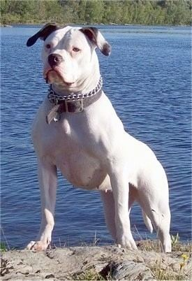American Bulldog American Bulldog Dog Breed Information and Pictures