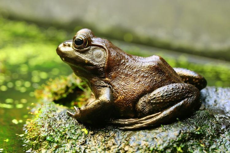 American bullfrog American Bullfrogs American Bullfrog Pictures American Bullfrog