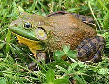 American bullfrog httpsuploadwikimediaorgwikipediacommonsthu