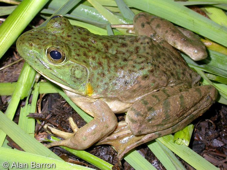 American bullfrog American Bullfrog Lithobates catesbeianus