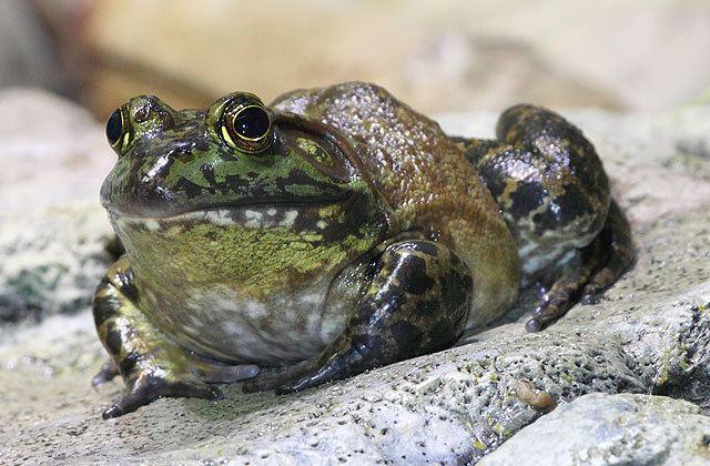 American bullfrog National Aquarium American Bullfrog