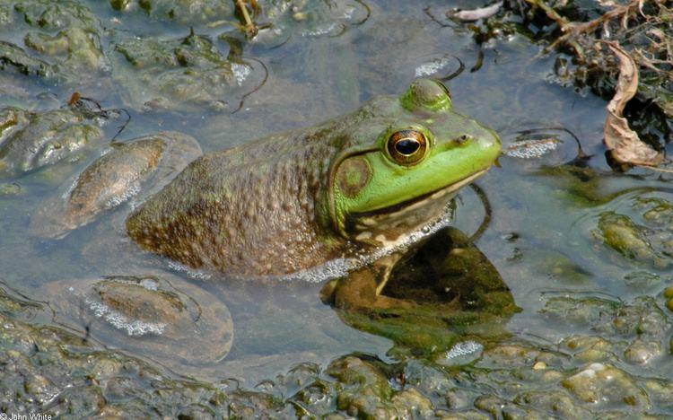 American bullfrog American Bullfrog