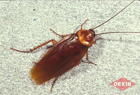 American cockroach American Cockroach Identification amp Control Get Rid of American