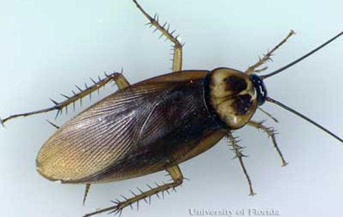 American cockroach American cockroach Periplaneta americana Linnaeus