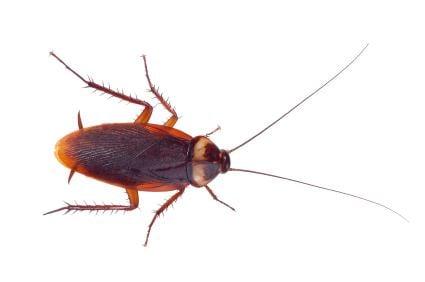 American cockroach Cockroaches 101 American vs German ExCimex