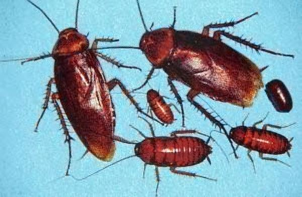 American cockroach American Cockroach Information How to Get Rid of American Roaches
