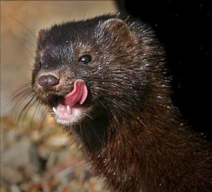 American mink Falkirk Environment Trust Identifying Invasive Species American Mink