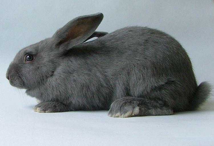 American rabbit - Alchetron, The Free Social Encyclopedia