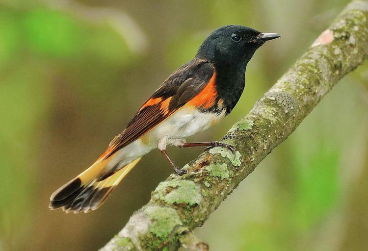 American redstart American Redstart Audubon Field Guide