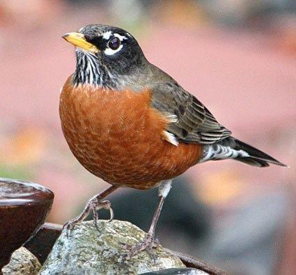 American robin httpswwwallaboutbirdsorgguidePHOTOLARGEam