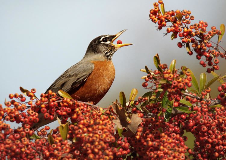 American robin American Robin Audubon Field Guide