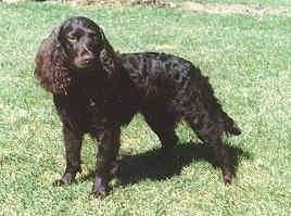 American Water Spaniel American Water Spaniel Dog Breed Information and Pictures
