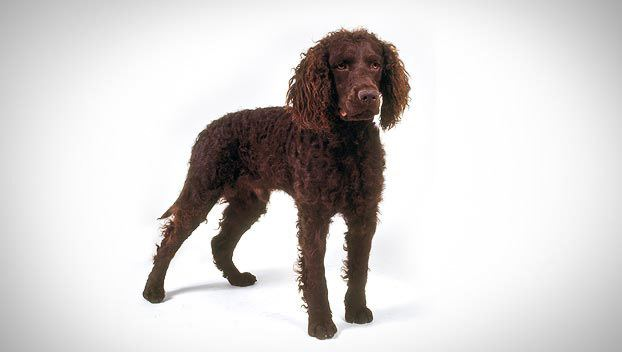 American Water Spaniel American Water Spaniel Dog Breed Selector Animal Planet