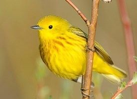 American yellow warbler Yellow Warbler Identification All About Birds Cornell Lab of
