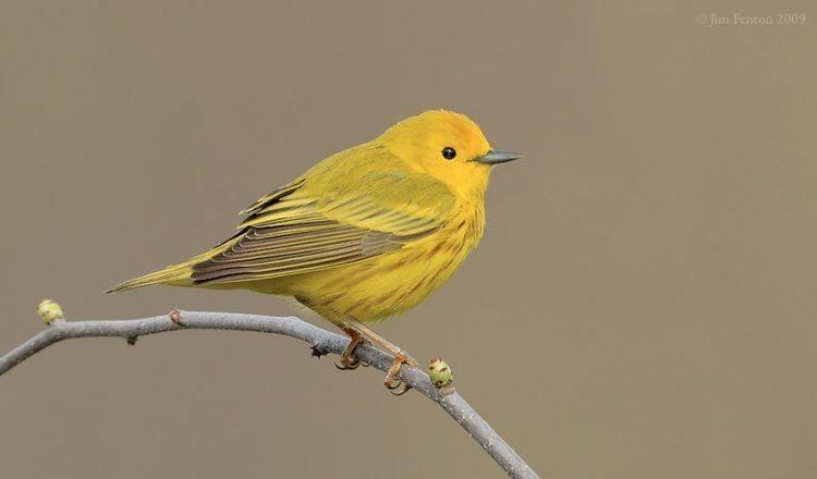 American yellow warbler Vol 2 No 3 The Yellow Warbler Lee39s Birdwatching Adventures Plus