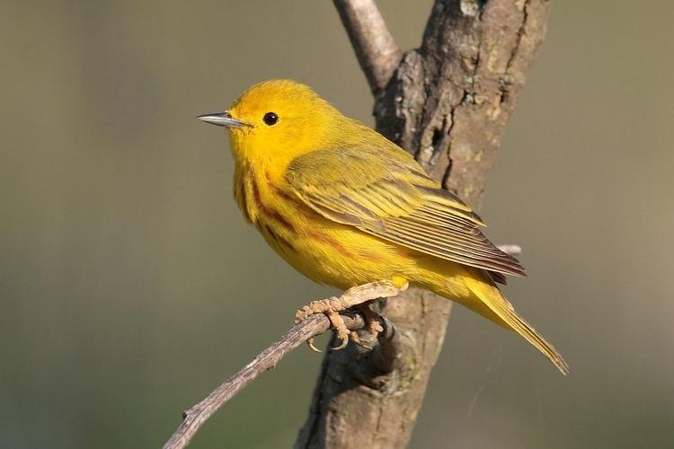 American yellow warbler American yellow warbler Wikipedia