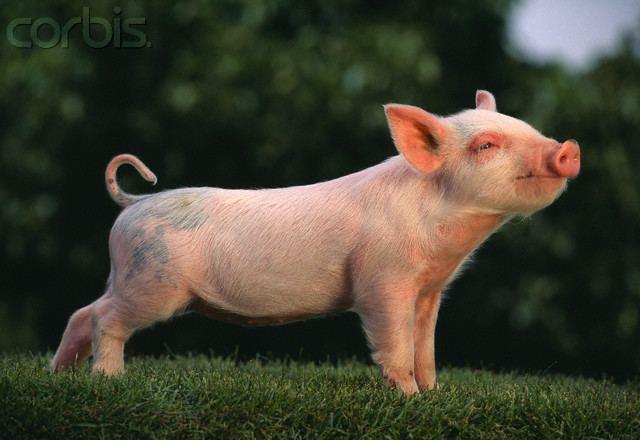 American Yorkshire pig Pinterest The world39s catalog of ideas