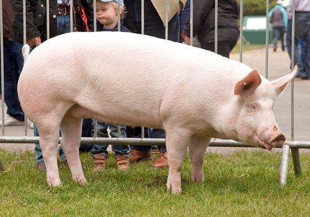 American Yorkshire pig wwwpetmapzcomwpcontentuploads201508America