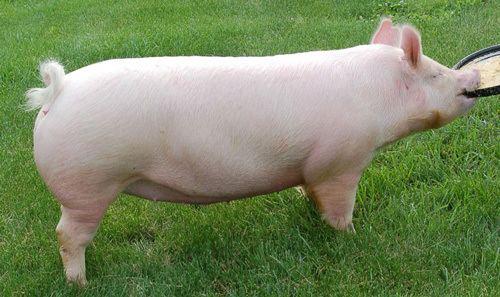 American Yorkshire pig Pig Breeds American Yorkshire