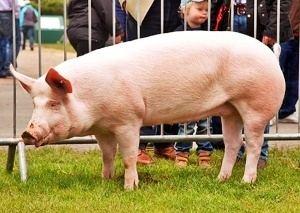 American Yorkshire pig aci9MEw2jpg