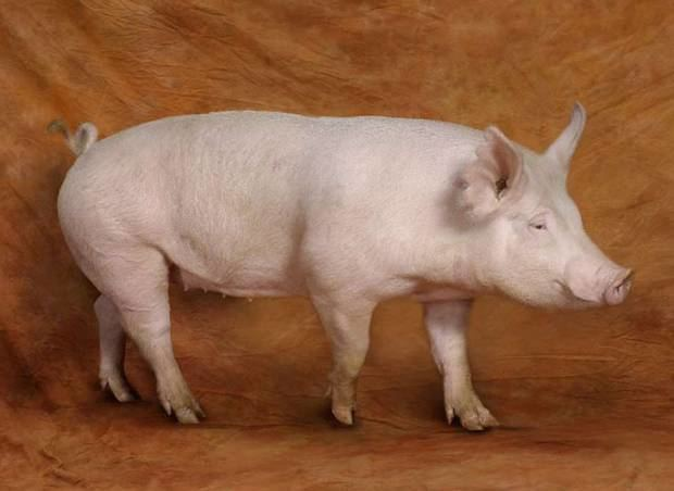 American Yorkshire pig pig The American Yorkshire is a lean pig primarily used for bacon