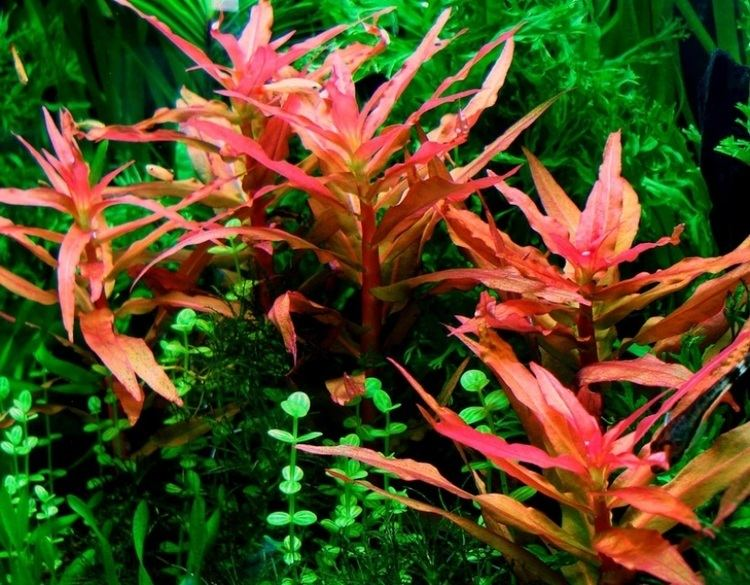 Ammannia gracilis Ammannia gracilis 1 stem only