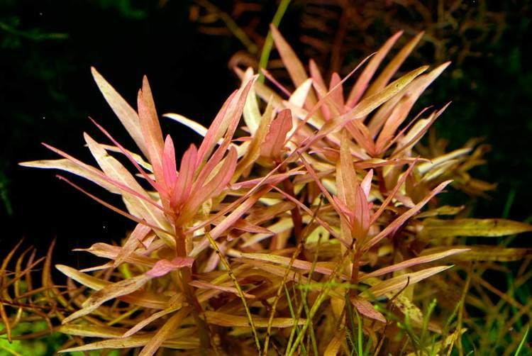 Ammannia gracilis Ammannia Gracilis aquarium plant AquaTank Rare Aquarium Plants