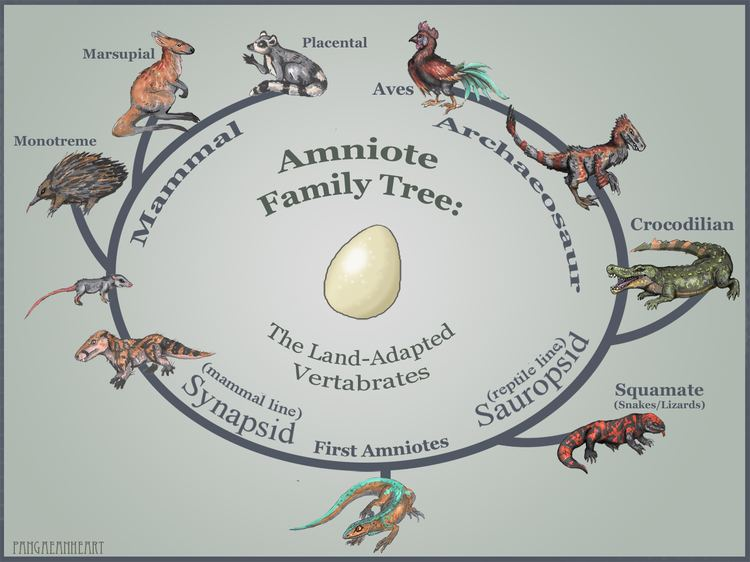 Amniote markers Pangaean Heart