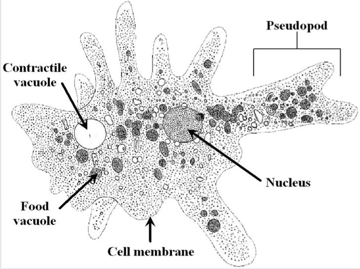 Amoebozoa Amoebozoa Veterinary Pathobiology 3040 with J Barta at University