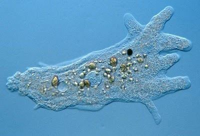 Amoebozoa Amoebajpg