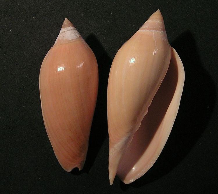 Amoria molleri httpsuploadwikimediaorgwikipediacommons55