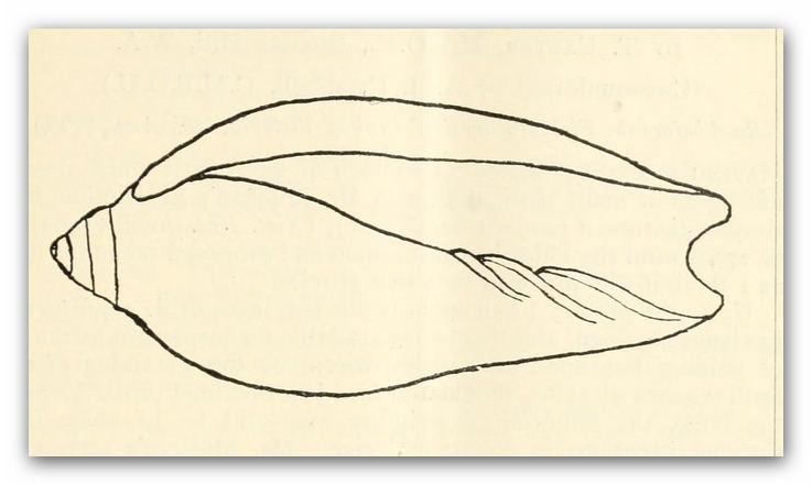 Amoria spenceriana