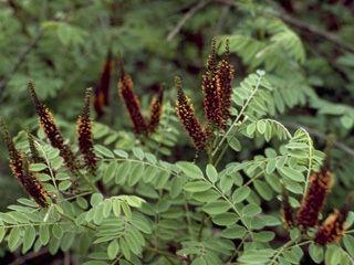 Amorpha Amorpha fruticosa Indigo bush NPIN