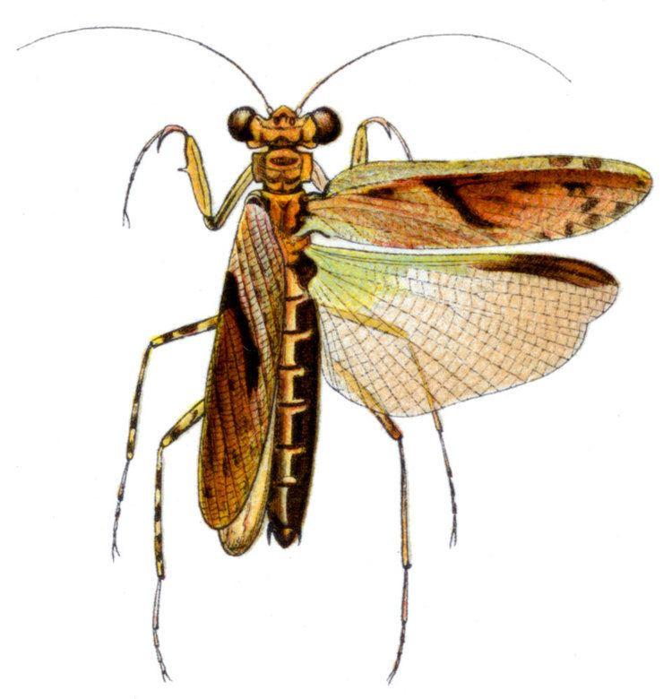 Amorphoscelis elegans httpsuploadwikimediaorgwikipediacommons44