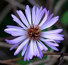 Ampelaster httpsuploadwikimediaorgwikipediacommonsthu