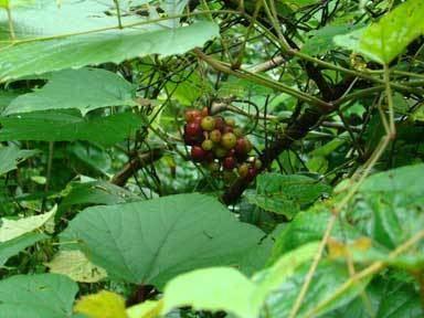 Ampelocissus latifolia Grapeleaf Ampelocissus Golinda Gardentia