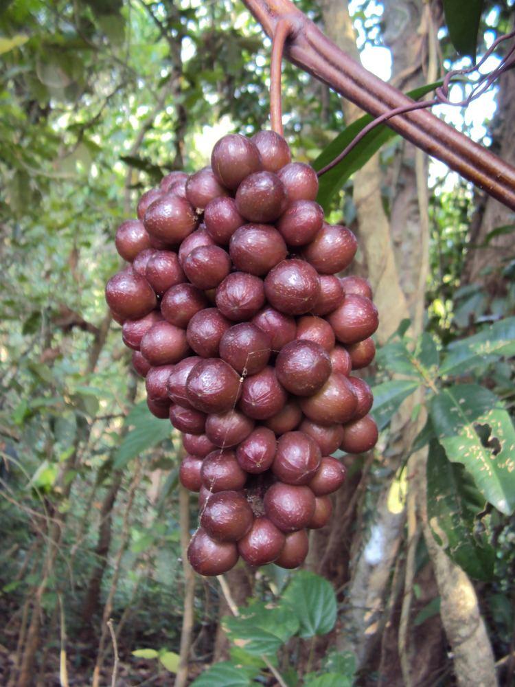 Ampelocissus latifolia FileAmpelocissus latifolia 01JPG Wikimedia Commons