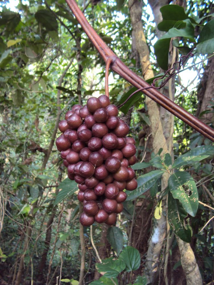 Ampelocissus latifolia FileAmpelocissus latifolia 05JPG Wikimedia Commons
