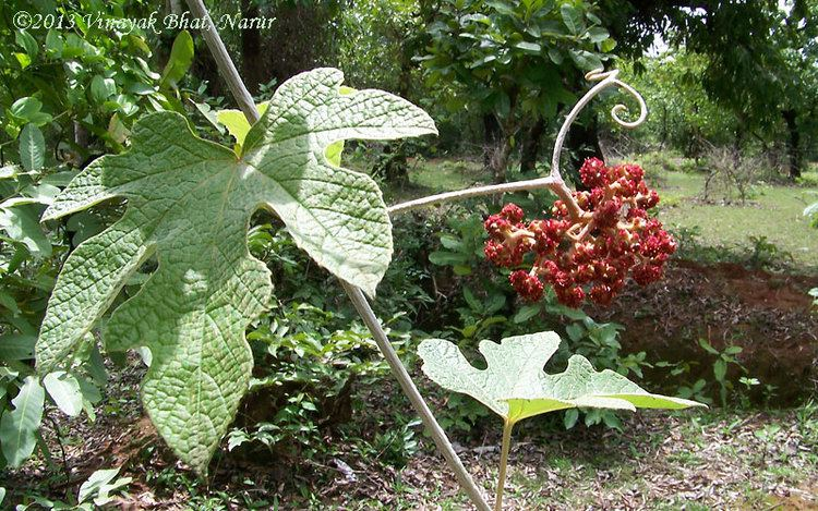 Ampelocissus latifolia Ampelocissus latifolia