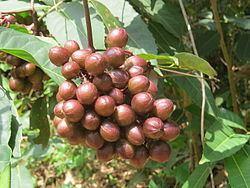 Ampelocissus latifolia httpsuploadwikimediaorgwikipediacommonsthu