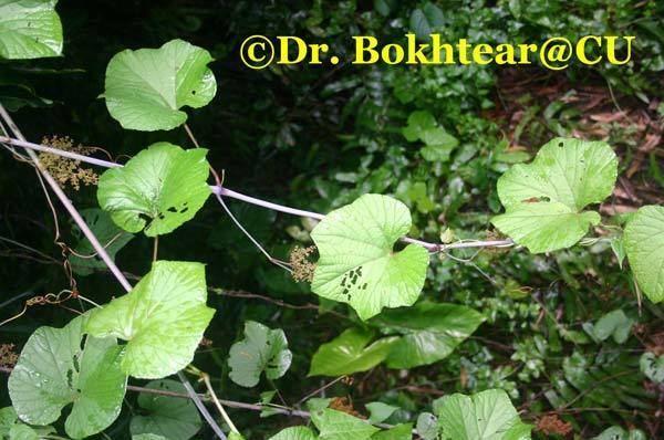 Ampelocissus latifolia ampelocissuslatifoliajpg