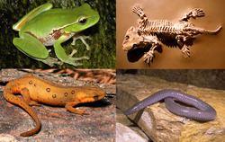 Amphibian httpsuploadwikimediaorgwikipediacommonsthu