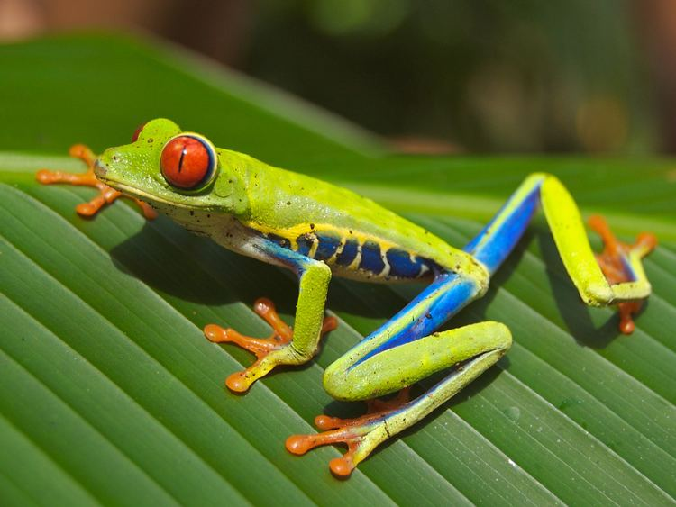 Amphibian List of amphibians Wikipedia