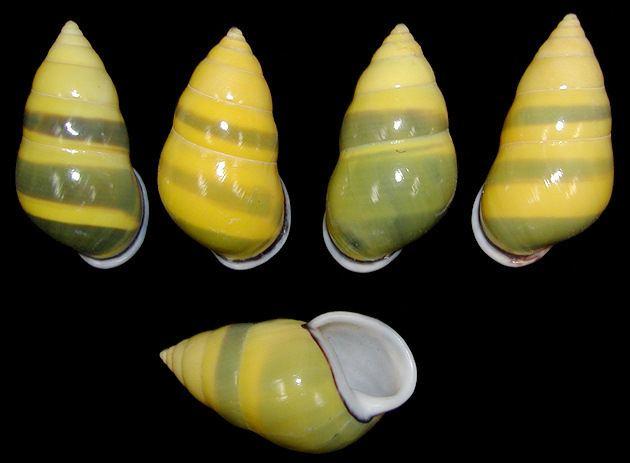 Amphidromus Amphidromus perversus Linnaeus 1758