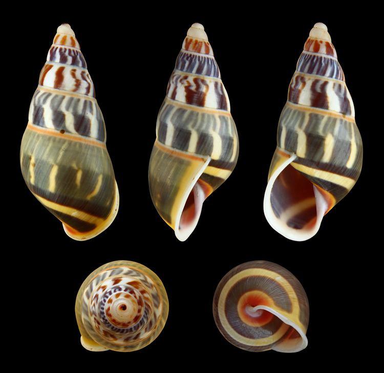 Amphidromus httpsuploadwikimediaorgwikipediacommons88