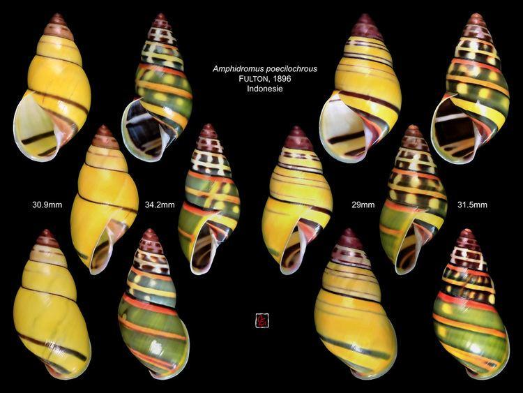 Amphidromus amphidromus poecilochrous indonesie planche Camaenidae Cam Flickr