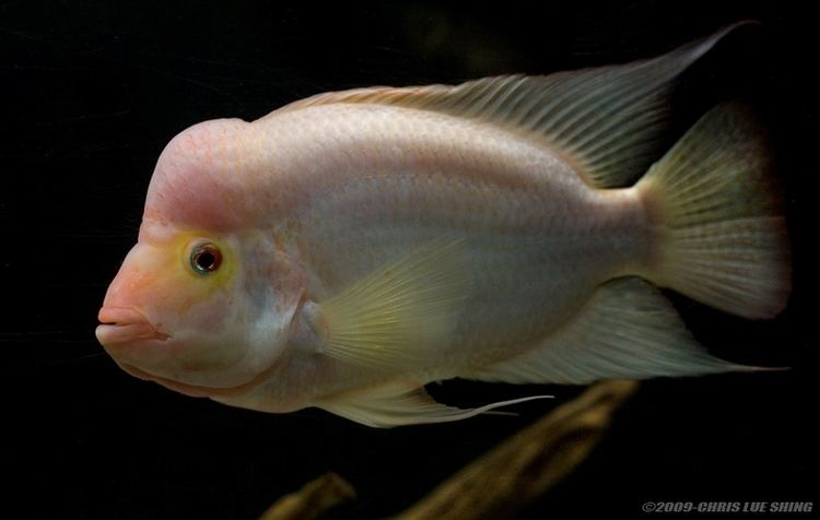 Amphilophus Amphilophus citrinellus Midas Cichlid Seriously Fish