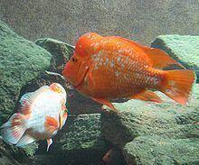 Amphilophus citrinellus Amphilophus citrinellus Wikipedia